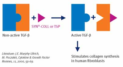 Figure 2. SYN-Coll boosts tissue growth factor