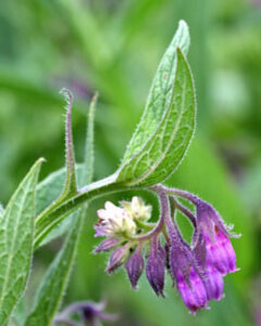 Activating Epidermal Turnover with Comfrey Stem Cells