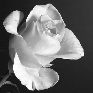 Patent Pick: White Rose and Gartanin Anti-aging
