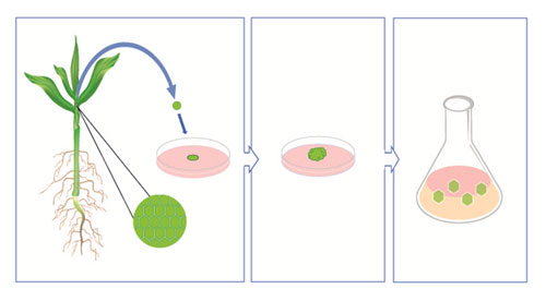 Figure 2. Method of culturing meristem cells from Hilalayan red rice