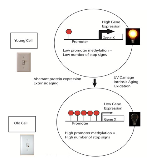 """Figure 5. Young cells can be thought of as having their """"youth switch"""" turned on"""