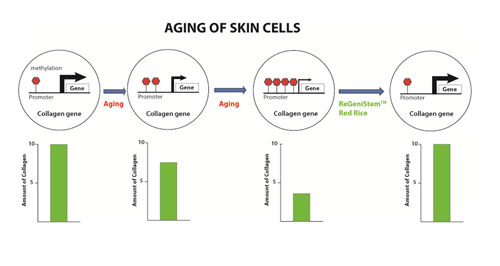 Figure 6. Methylation in aging skin cells