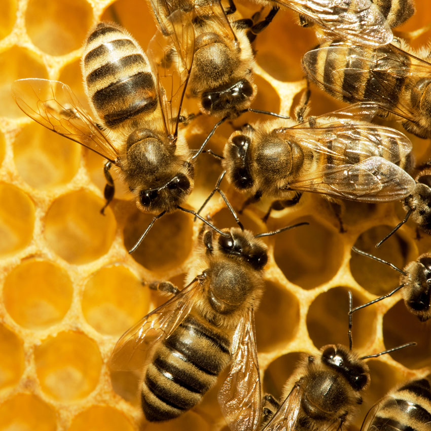 Bees-in-hive850