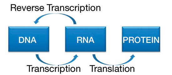 Figure 1. The flow of genetic information