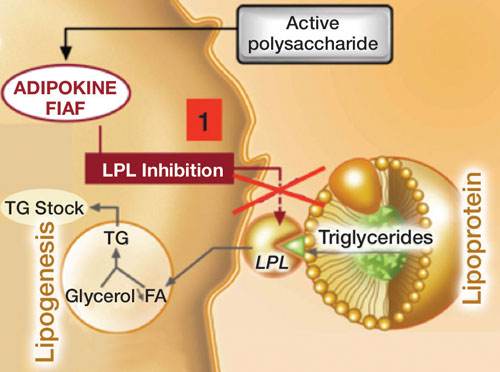 Figure 2. Polyglucuronic acid activity on adipokine FIAF synthesis to enhance LPL inhibition; FA = fatty acids, LPL = lipoprotein lipase and TG = triglycerides