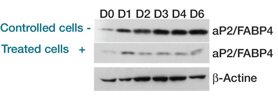 Figure 5. Search for aP2/FABP4 protein by Western Blot in control sample cells and treated cells sample; detection was carried out by assessing protein ß-actine