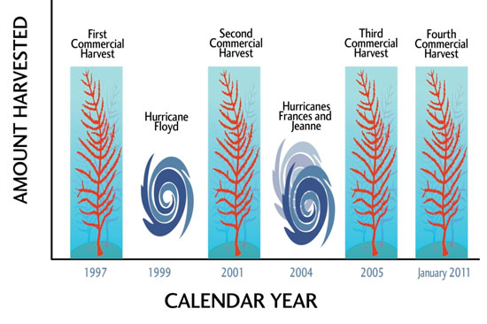 Figure 3. Relative amounts pruned at a single location did not change across three harvests, nor was the harvest yield affected by hurricanes in 1999 and 2004.