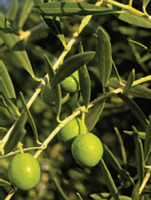 Figure 1. <em>Olea europaea</em> (Olive), a species of a small tree of the family Oleaceae