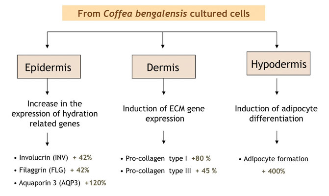 Figure 4. The <em>Coffea bengalensis</em> cell extract activates mechanisms associated with hydration, firming and replumping in the skin.