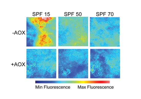 Figure 3. TPM images after UV-irradiation of skin with three difference test formulations applied on a different intensity scale to demonstrate the difference in fluorescence intensity between the + and – antioxidant SPF 15, 50 and 70 formulations