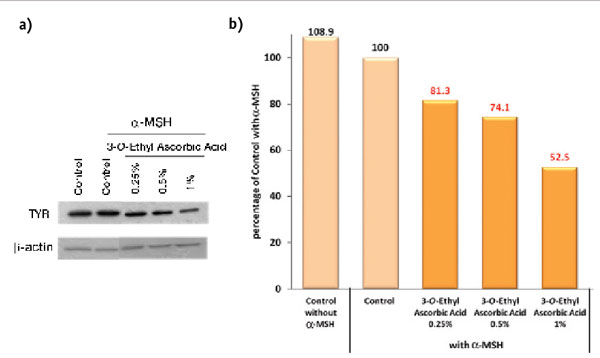 Figure 4. Western blotting detection: inhibitory effect of 3-O-ethyl ascorbic acid on tyrosinase (TYR)
