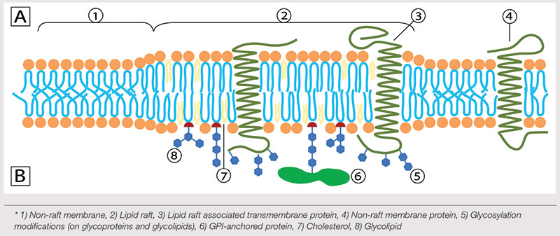 Figure 2. Illustration of lipid raft