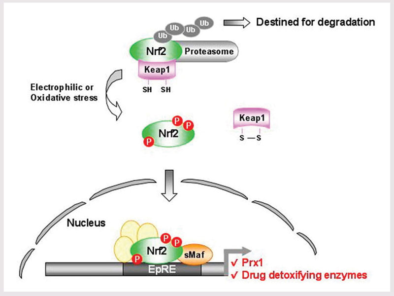 Figure 1. The mechanism of Nrf2