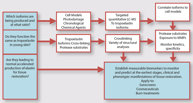 Figure 3. Potential cascade of events that needs further studies for a more complete understanding of the elastin cascade in aged skin