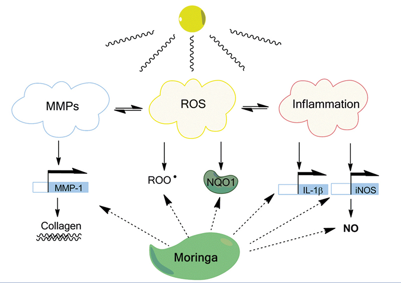 Figure 4. Moringa concentrate identified bioactivities for skin protection