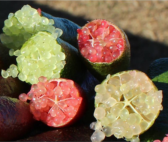 Figure 1. Caviar-like pulp pearls inside <em>M. australasica</em> fruit