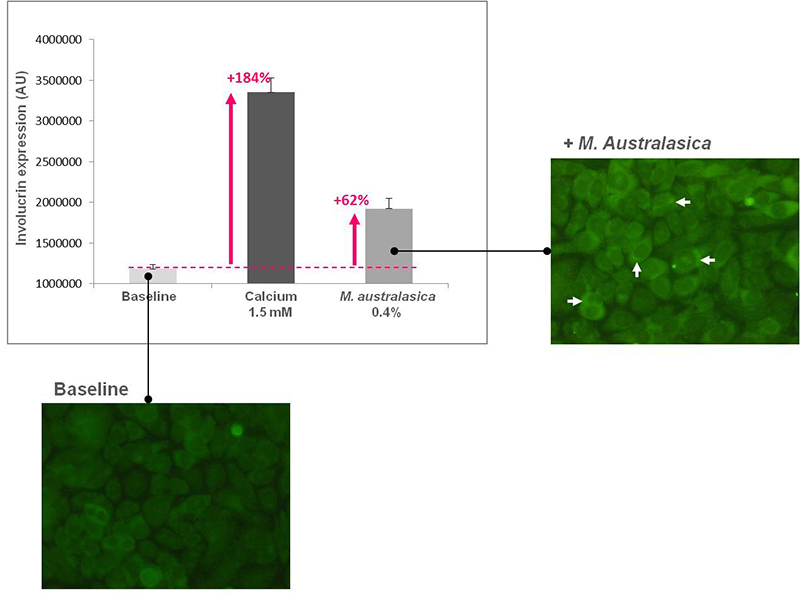 Figure 4. <em>M. australasica</em> extract stimulates involucrin expression in keratinocytes