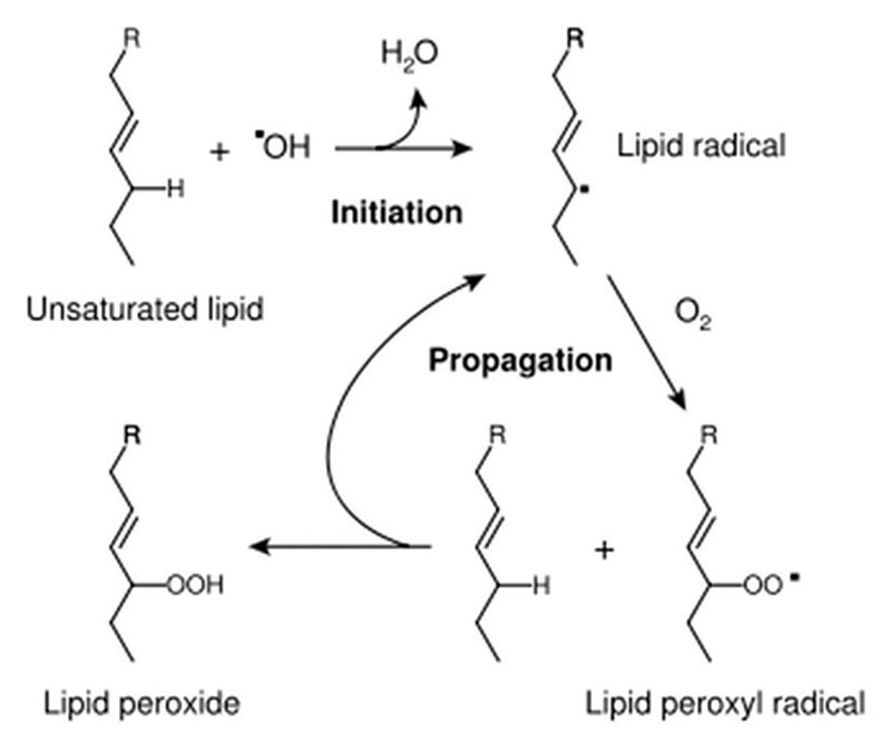 Figure 6. Initiation and propagation of lipid peroxidation