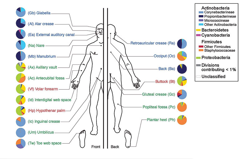 Figure 1. Depiction of the human body and bacteria that predominate<sup>8</sup>