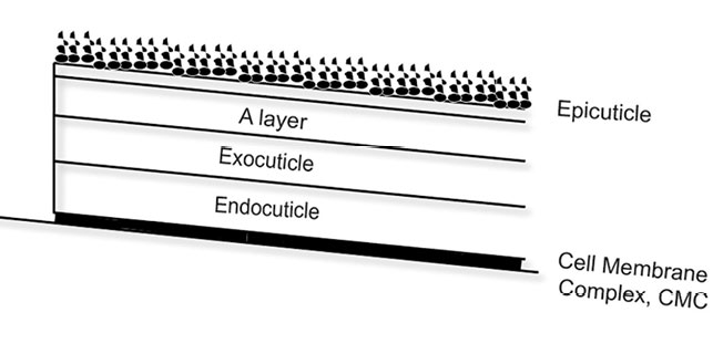 Figure 4. Schematic view of cuticle sub-structure