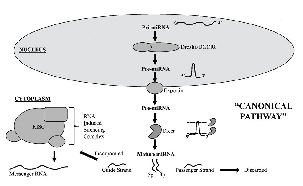 Figure 1. Classical canonical miRNA biogenesis pathway