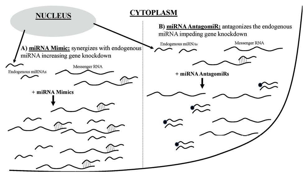 Figure 2. Two methods of influencing miRNA levels in a cell