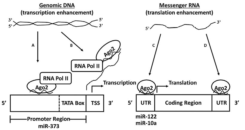 Figure 2. Mechanisms by which nuclear small RNA associated RISC complexes can promote gene expression