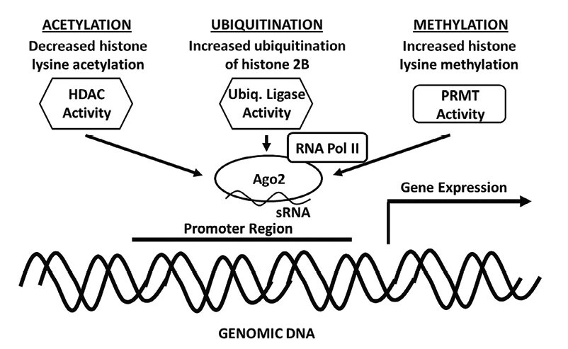 Figure 3. Epigenetic modifications by which RNAa can promote sustained gene expression