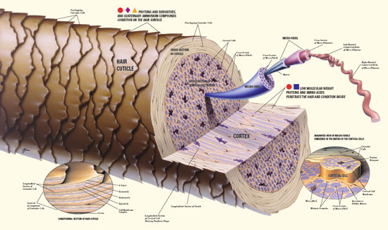 Figure 1. Structure of human hair