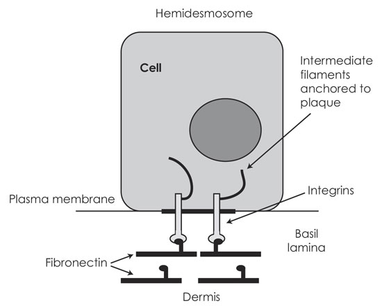 Structure of the hemidesmosome