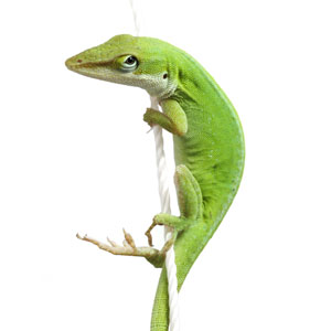 Leapin Lizards—New Findings Highlight Color-change Mechanisms