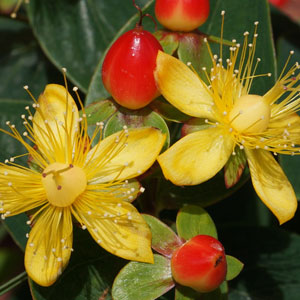 Shrubby St. Johns Wort Boosts More than Your Mood