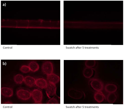 Figure 1. Fluorescene microscopy of a) hair shaft and b) cross-section, after five treatments with Quinoa Pro EX, compared with the control; after five treatments, hair showed a significant reduction in intensity 