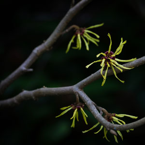 Patent Pick: Witch Hazel and More to Exothermally Heat Up Spa Care