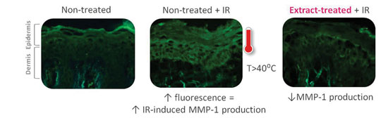 Figure 5. Results from MMP-1 immunolabeling; pre-treatment with the extract prevented an IR-induced increase in MMP-1 expression.