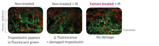 Figure 6. Immunostaining of tropoelastin on day nine frozen skin sections; reduced tropoelastin expression was alleviated when pre-treating with <em>Polygonum aviculare</em> extract.