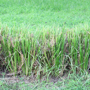 Vetiver Together Ensures Crop and Producer Stability